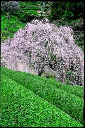 市川家のしだれ桜|仁淀川町